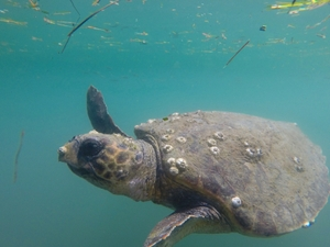 Argostoli Harbor sea turtle with barnacle on beak