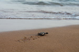 A hatchling crawling to the sea