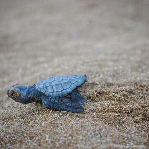 Hatchling crawling to sea