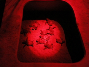 Hatchlings rescued from light pollution