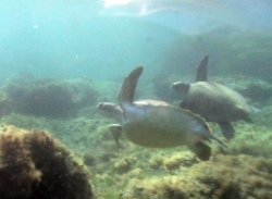 A loggerhead and a green turtle swim together in Kefalonia