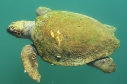 Loggerhead sea turtle in Argostoli harbor