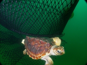 Loggerhead turtle saved by Turtle Excluder Device