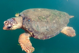 Male sea turtle swimming in Argostoli