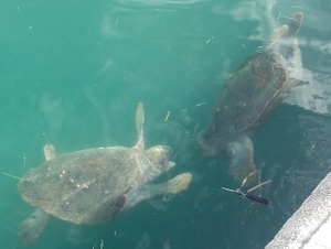 One turtle attacks another in Argostoli harboour
