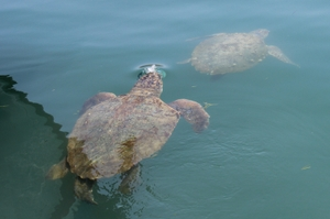 A pair of Argostoli Harbour sea turtles interacting