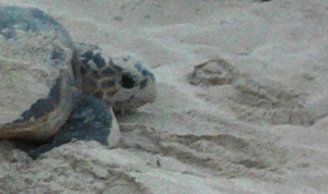 Sea turtle on nesting beach