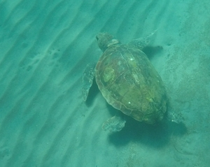 A sea turtle resting on the sea floor