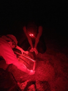 Tagging a sea turtle at night