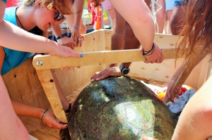 Taking carapace measurements of sea turtle