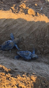 Two hatchlings in a sea-directed trench