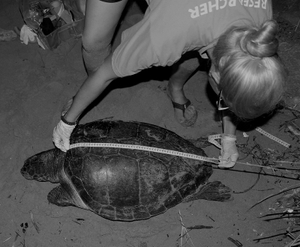 Volunteer measuring the CCL of a nesting turtle