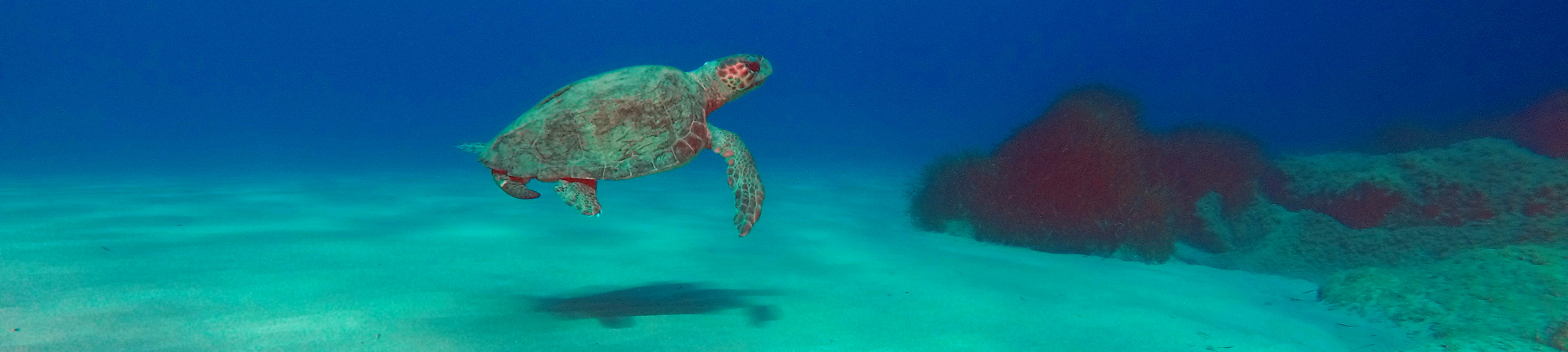 A male turtle swims over seafloor in Mounda bay