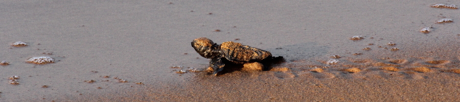 Sea turtle hatchling reaching the sea at Megas Lakkos