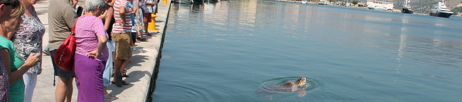 A sea turtle in Argostoli entertains tourists